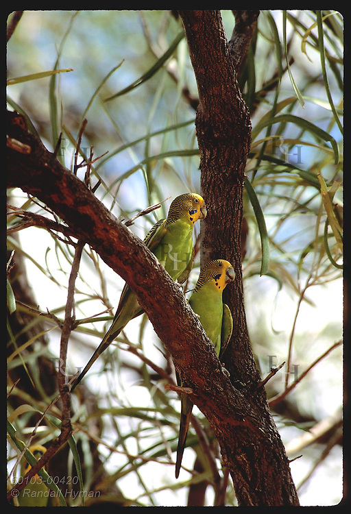 Two budgerigar birds perch on tree branch in the Tanami Desert.  Australia