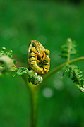 AF5GK8 Pteridium aquilinum bracken fern leaf frond