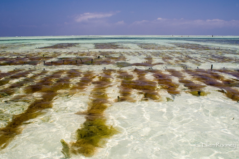 Seaweed farms in the sea at lowtide.  Paje, Zanzibar, Tanzania