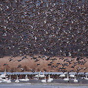 "Trumpeter swans and mallard ""flyoff"" in winter, Snohomish River Delta, Washington."
