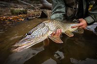 fly caught northern pike from the otter creek near Middlebury, Vermont