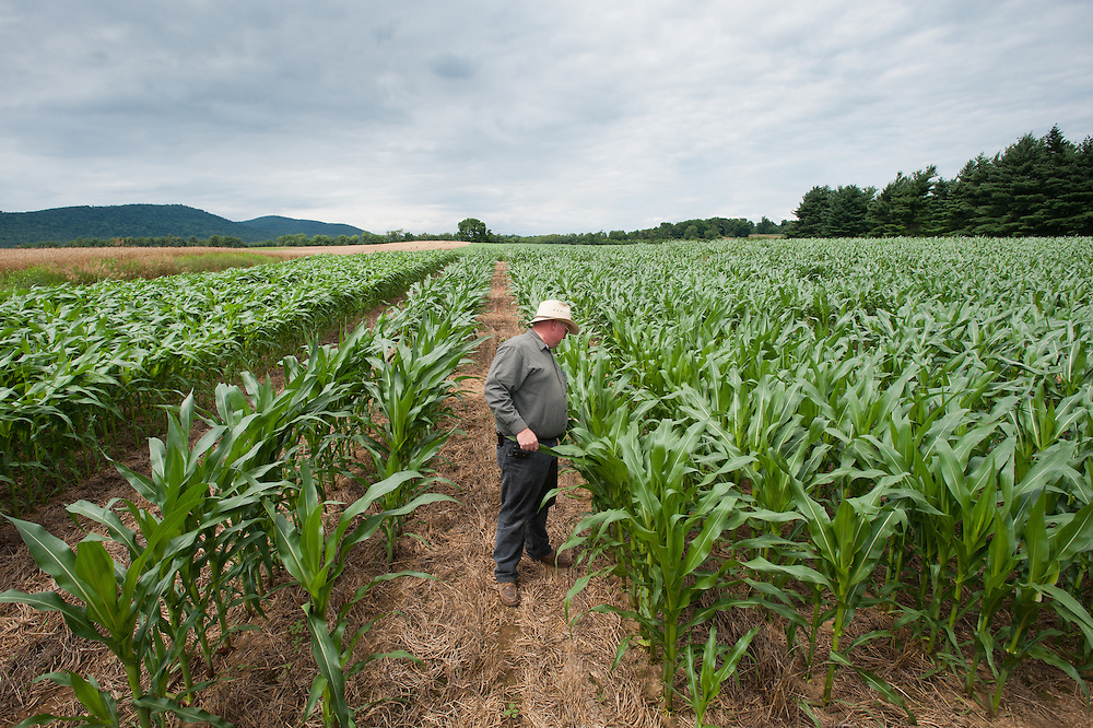 Farmer inspecting rows of corn crops