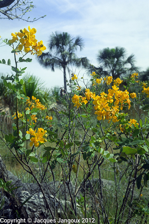 Savanna (cerrado) biome, Brazilian  Highlands, Goiás State, Brazil: Senna corifolia var. caesia (family Leguminosae - Fabaceae) at ecotone (transition) between vegetation on rock outcrop and vereda (seasonally waterlogged treeless grassland).