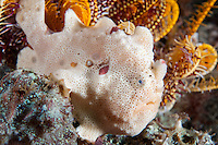A Painted Frogfish extends its lure to attract prey<br /> <br /> Shot in Indonesia