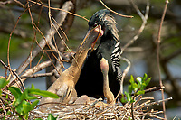 Anhinga (Anhinga anhinga) chick being fed by male parent,  Wakodahatchee Wetlands, Delray Beach, Florida, USA