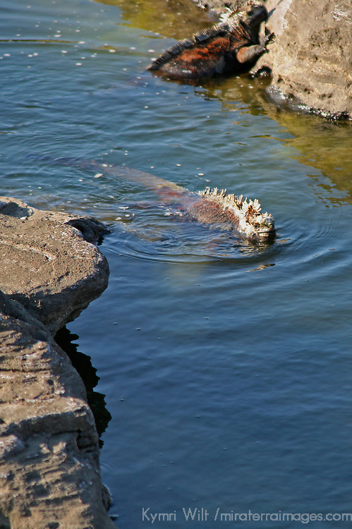 South America, Ecuador, Galapagos Islands, Santiago Island, James Island, Port Egas. Swimming Marine Iguana.