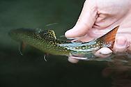 Releasing a wild native brook trout.