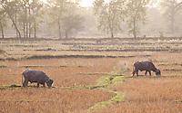 Domestic Water Buffalos, Bubalus bubalis, Bardiya, Nepal