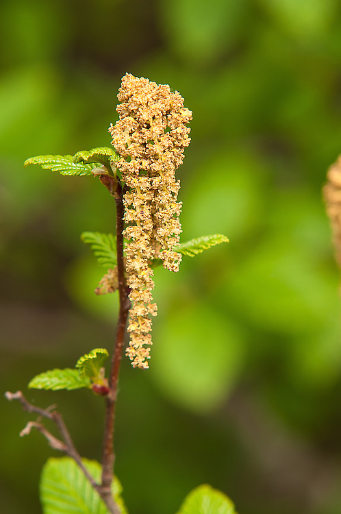 Male catkins of the Sitka alder on a summer afternoon at the very top of Snoqualmie Pass at the edge of Gold Creek Pond. These unlikely looking flowers supply the pollen that will pollenate the nearby cone-like female catkins - not with insect pollinators, but by the wind!