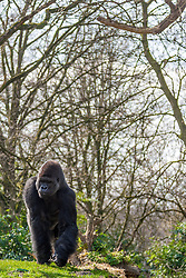 01.04.2016, Zoo, Duisburg, GER, Tiere im Zoo, im Bild Gorilla // during visit to the Zoo. Duisburg, Germany on 2016/04/01. EXPA Pictures © 2016, PhotoCredit: EXPA/ Eibner-Pressefoto/ Hommes<br /> <br /> *****ATTENTION - OUT of GER*****
