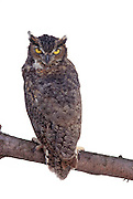 A great horned owl (Bubo virginianus) in studio. Portland, Oregon.