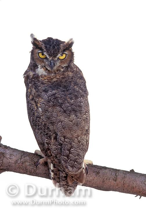 A great horned owl (Bubo virginianus) in studio. Portland, Oregon.