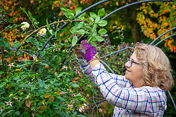 Tying in new shoots of climbing roses with garden string
