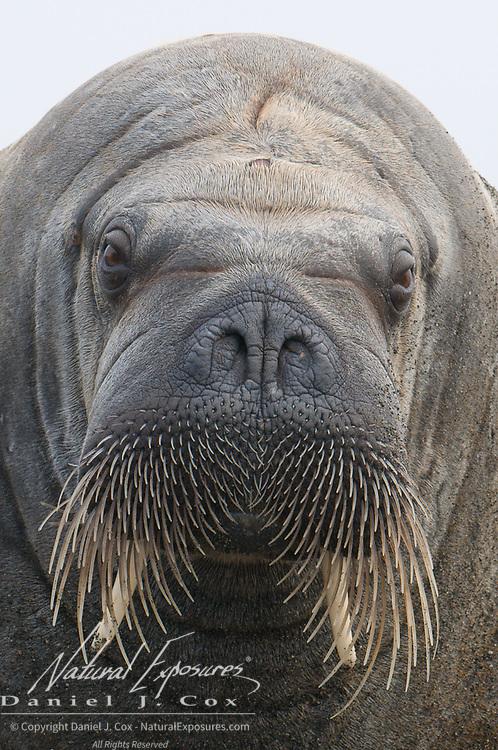 Walrus portrait, Svalbard, Norway