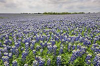 Texas Bluebonnets (Lupinus texensis), Muleshoe Bend LCRA Park, Travis County, Texas