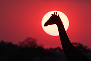 A giraffe, Giraffa camelopardalis, Savuti, at sunset.