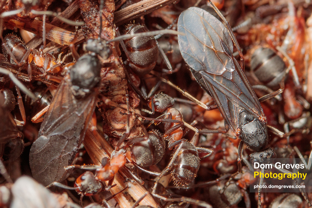Male wood ants (Formica rufa) searching for newly emerged queens. Surrey, UK.
