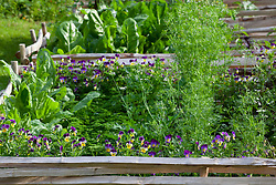 Viola with parsley and sorrel in the vegetable patch.
