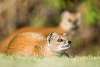 Yellow Mongoose, Bloemfontein, Free State, South Africa