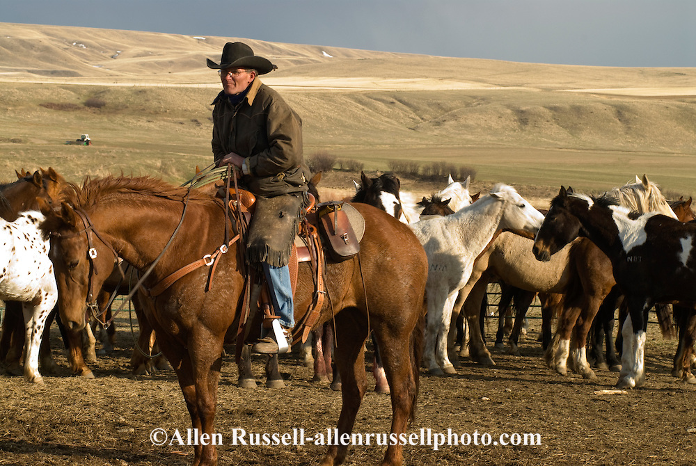 Cowboys move horse (Equus caballus) herd from winter pasture to summer pasture, Three Forks Montana