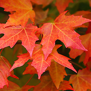 &quot;Maple Abundance&quot;<br />