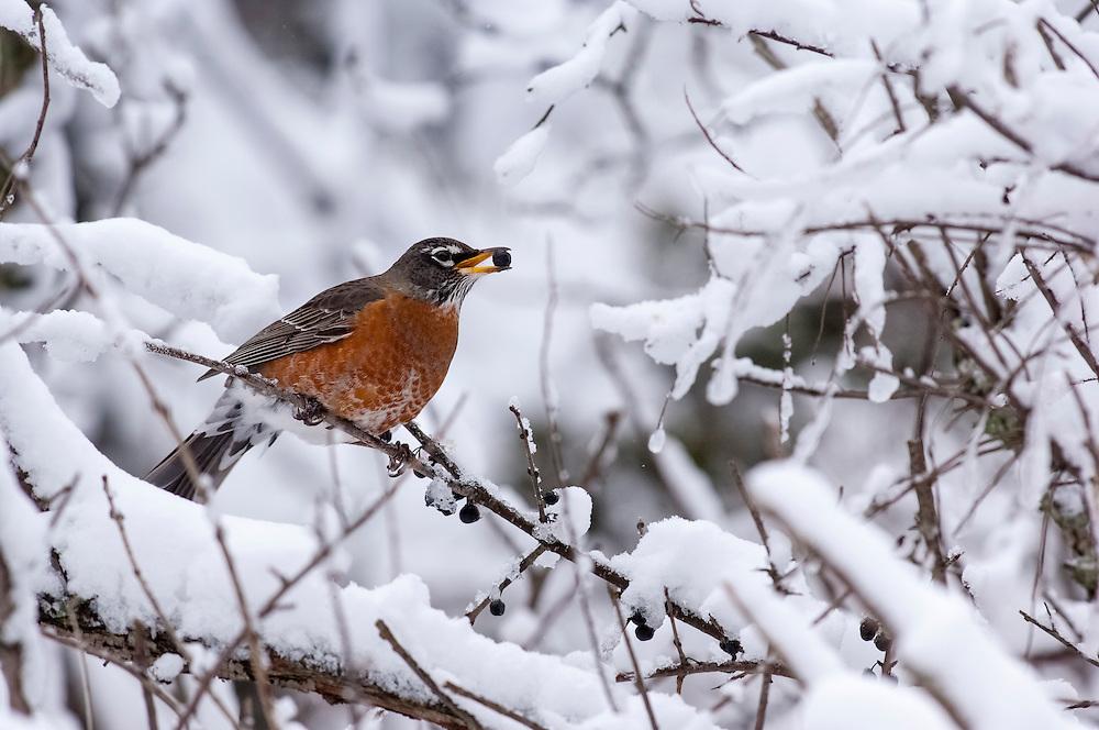 American Robin, Turdus migratorius, Rochester, Michigan