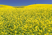 Spring Bloom of Canola in Palouse Washington