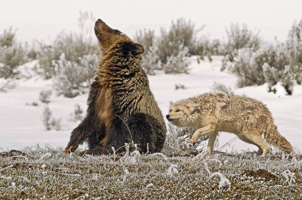 The young grizzly is ready to play, but to the coyote, he's still a threat.