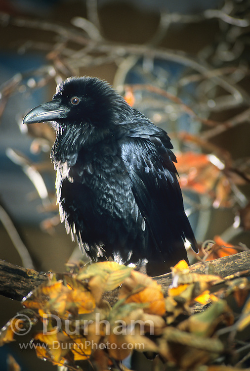 A common raven (Corvus corax) portrait. Captive