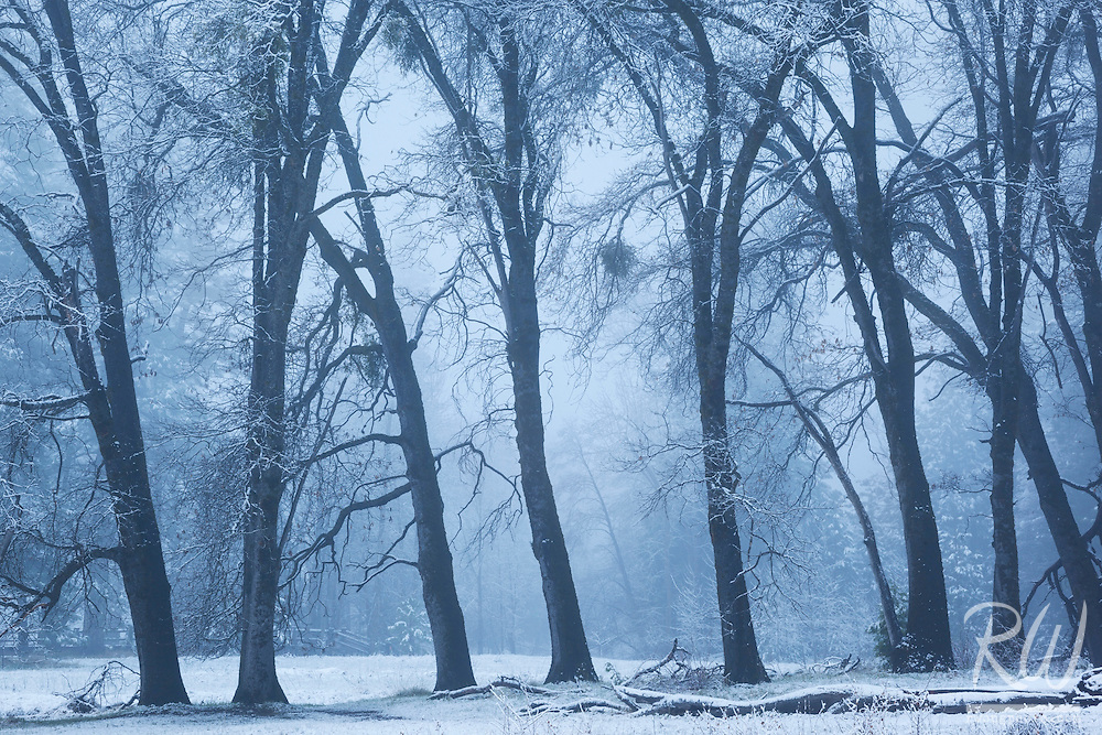 Black Oak Trees in Fog After Spring Snowstorm, Yosemite National Park, California<br /> <br /> Backstory:<br /> My favorite photo from Yosemite, this magical morning was perhaps the most productive sunrise photoshoot I have ever had.<br /> <br /> Year Photographed: 2014