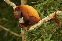 Red Howler Monkey (Alouatta seniculus) near the canopy tower at the Tiputini Biodiversity Station, Orellana Province, Ecuador