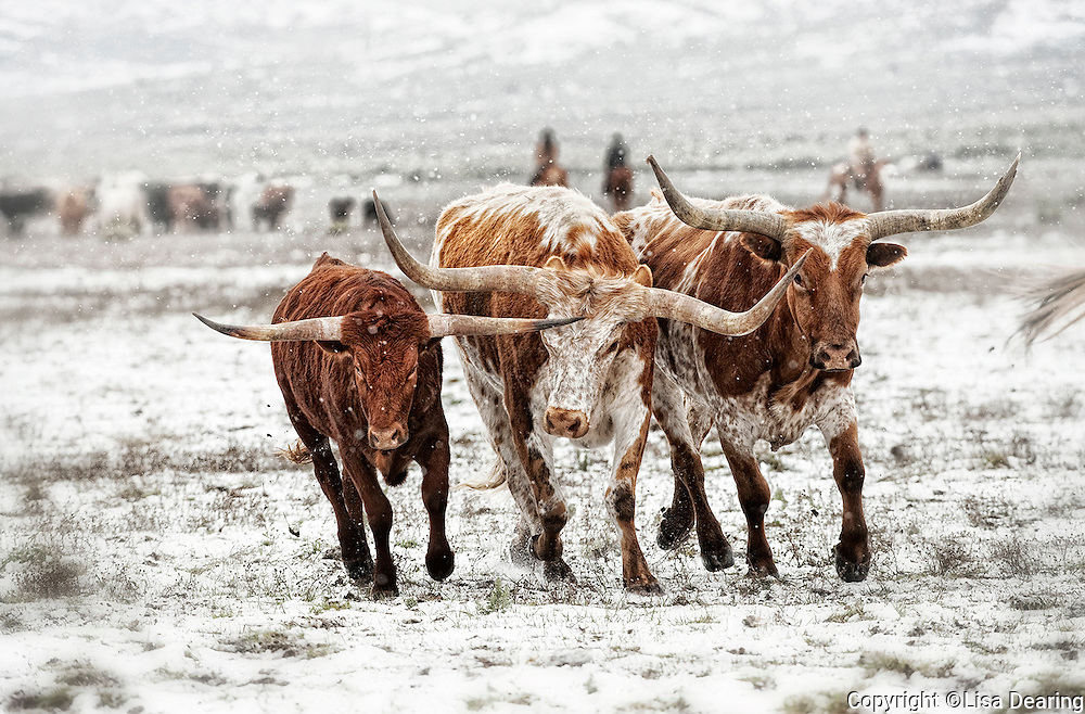 Three Longhorns