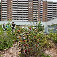 Chinese 5 Colour Peppers on a rooftop vegetable garden in Toronto (Access Alliance).