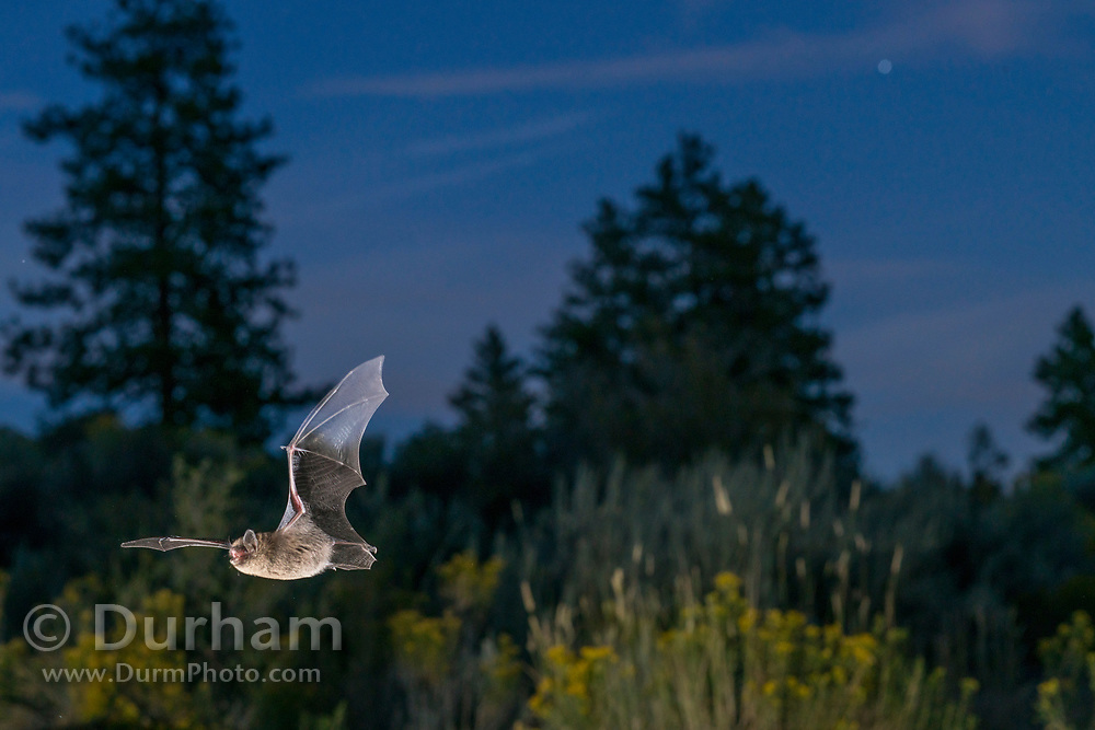 Bat flying at dusk in ponderosa forest in Central Oregon. © Michael Durham