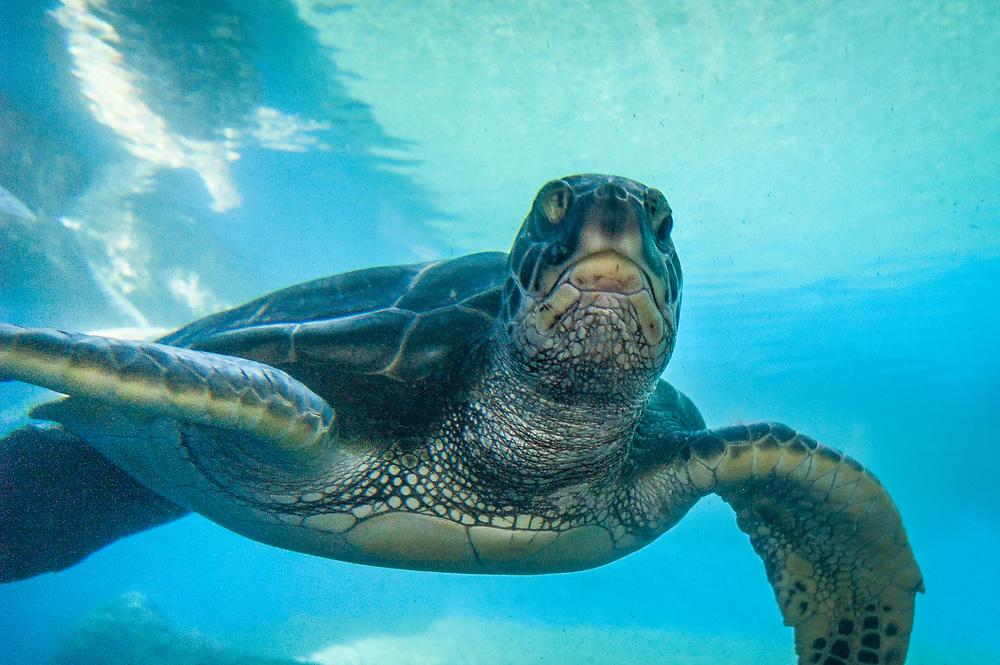 Hawaiian Green Sea Turtle at Maui Ocean Center; Maui, Hawaii.