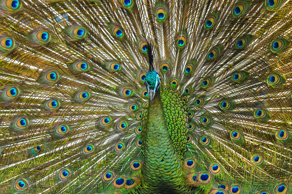 Male peacock (Pavo cristatus) displaying his ocellated tail feathers.