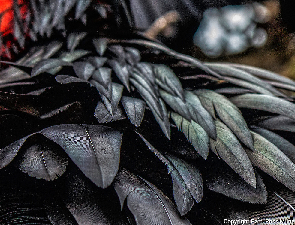 The wonder of nature displayed in this closeup of the Frigate birds feathers.