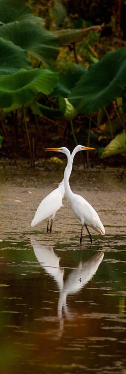 Egrets can still find  wetland areas suitable for nesting.