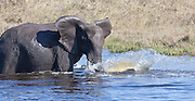 Elephant splashing in water, Savuti Channel