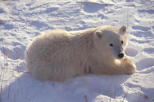 Polar Bear, (Ursus maritimus) Cub. Churchill, Manitoba. Canada.
