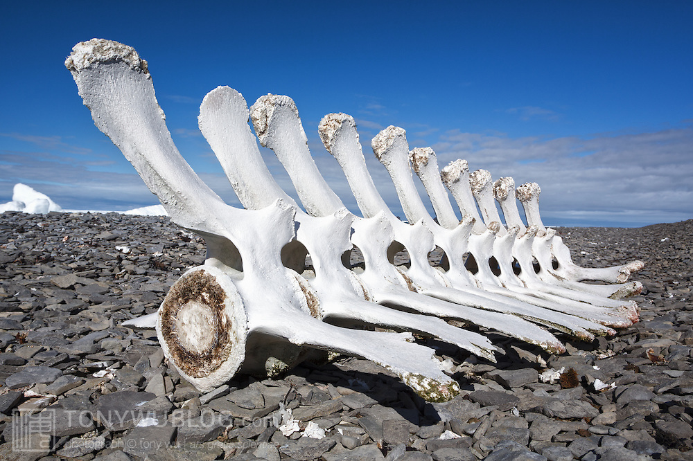 Part of the spinal column and vertebrae of a bowhead whale (Balaena mysticetus) on a rocky short along the Northwest Passage that passes above Somerset Island in Nunavut Province, Canada
