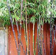 Bamboo are a group of perennial evergreen (except for certain temperate species) plants in the true grass family Poaceae, subfamily Bambusoideae, tribe Bambuseae. Giant bamboos are the largest members of the grass family.
