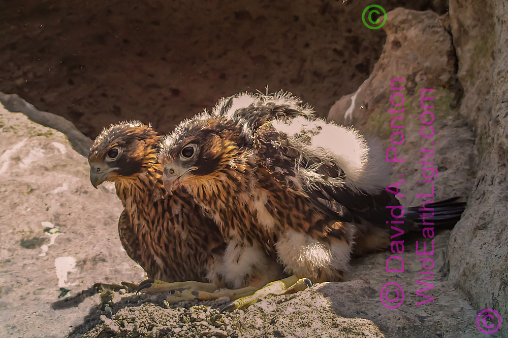 Nestling female peregrine falcons at 32 days old, resting side-by-side on a ledge below their eyrie cave. © 2013 David A. Ponton, [photo by motion-activated camera, low-resolution limits repro. size]
