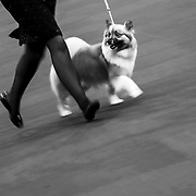 February 11, 2013 - New York, NY : .Images from the 2013 Westminster Kennel Club Dog Show at Madison Square Garden on Monday evening. An icelandic sheepdog takes to the ring in the herding division.  CREDIT: Karsten Moran for The New York Times