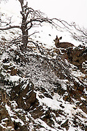 Mule deer (Odocoileus hemionus) yearling in winter storm, Property Released