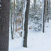 Fresh snow in winter woods, Breakheart Reservation, Wakefield, MA