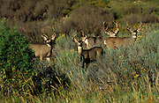 Morning light on young mule deer bucks (Odocoileus hemionus), Mesa Verde National Park, Colorado USA