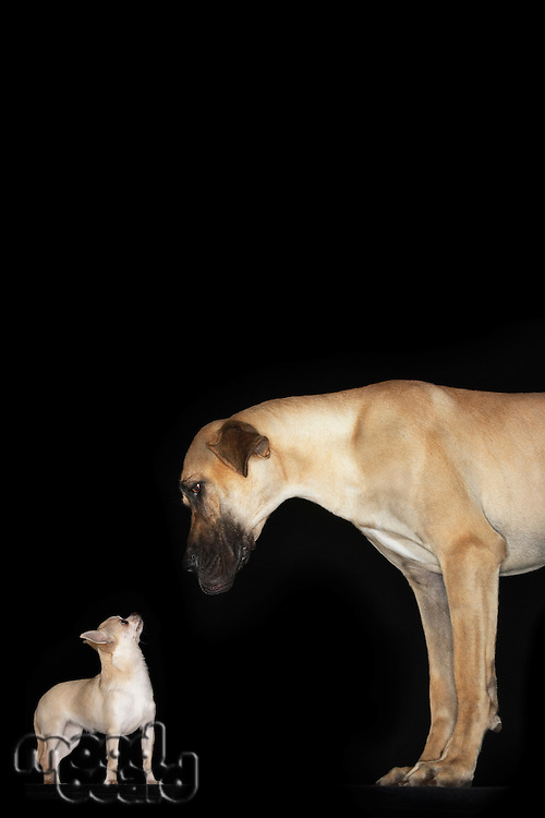 Great Dane and Chihuahua standing looking at each other