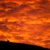whitetail buck on ridge dramatic orange clouds overhead