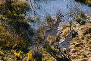Aerial view of two southern giraffes (Giraffa camelopardalis) in Okavango Delta.